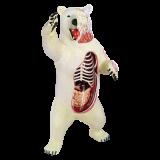 Объемная анатомическая модель Белый медведь (26097)