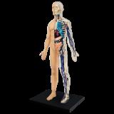 Объемная анатомическая модель Тело человека (26085)